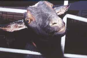 goat_psycho